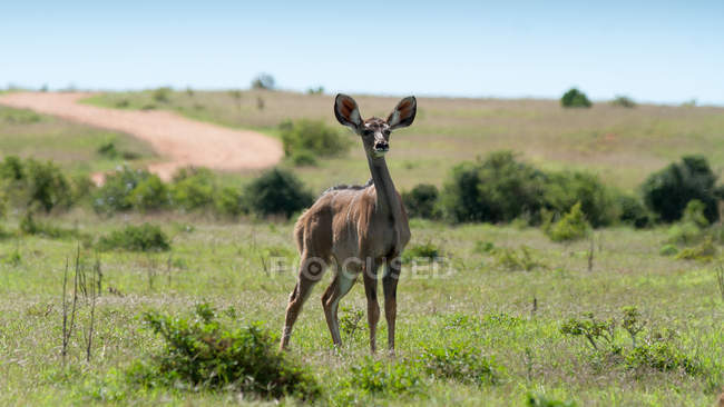Antelope standing on field — Stock Photo