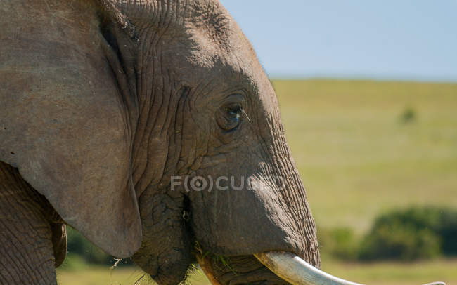 African elephant head — Stock Photo