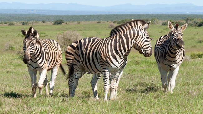 Vier Zebras stehen im park — Stockfoto