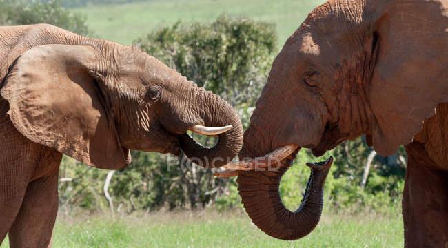 Два африканські слони — стокове фото