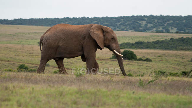 African Elephant walking in park — Stock Photo
