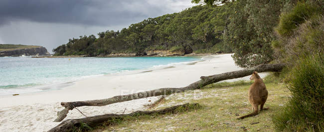 Jervis Bay wallaby sitting on beach — Stock Photo