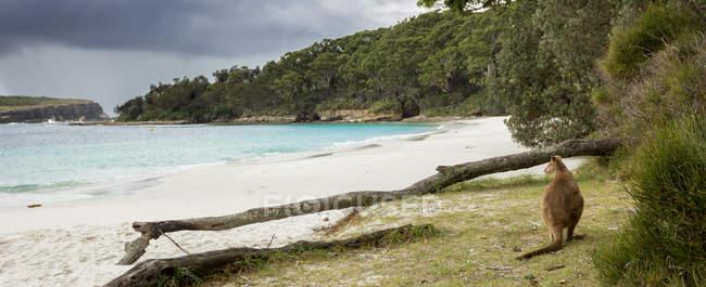 Джервіс-Бей валабі, сидячи на пляжі — стокове фото