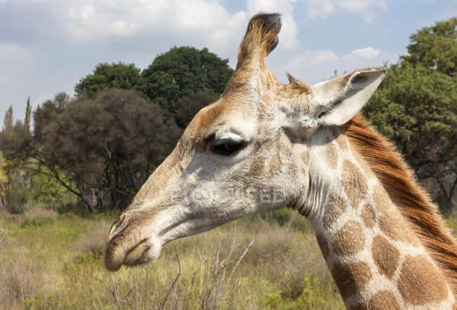 Близько від giraffe голова — стокове фото