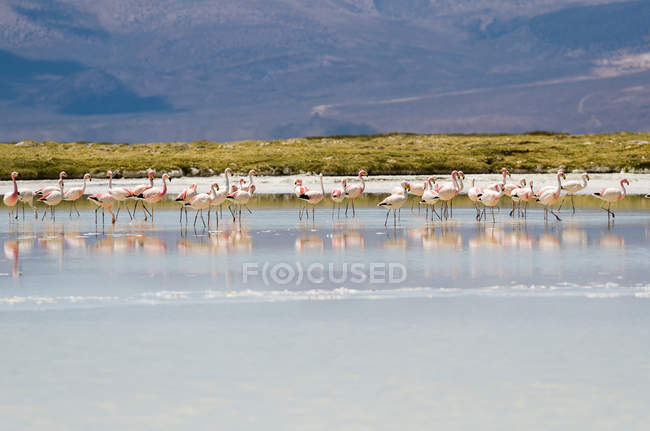 Flock of flamingos standing in water — Stock Photo