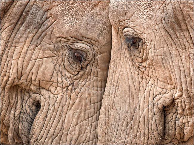 Часть слонов голова к голове — стоковое фото