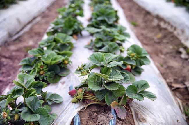 Nova safra de morangos crescendo — Fotografia de Stock