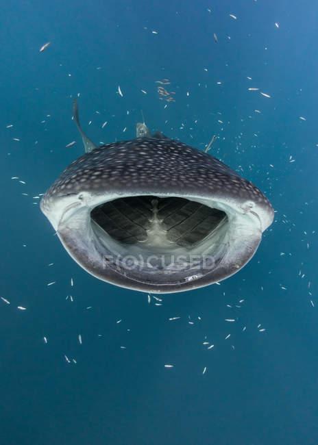 Whale shark hunting fish — Stock Photo