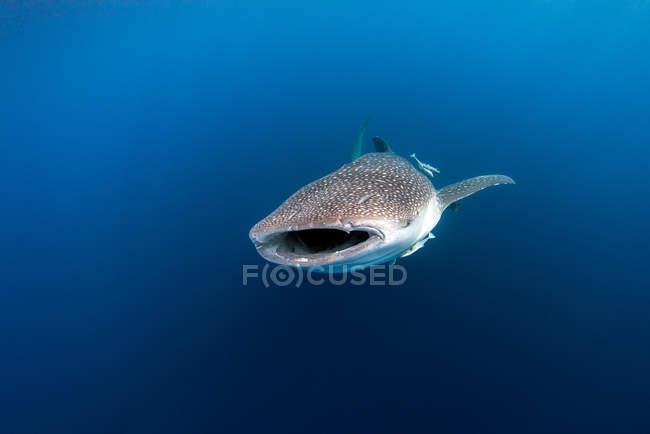 Tiburón Ballena nadando en el mar - foto de stock
