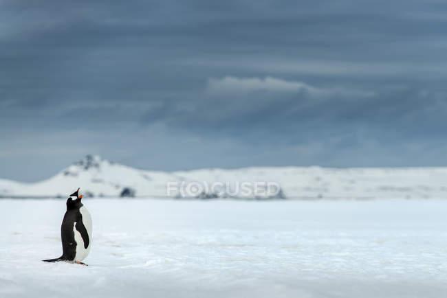 Портрет кричали пінгвін — стокове фото