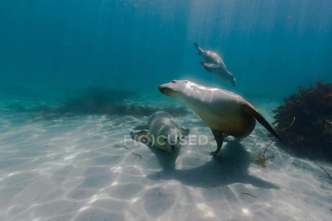 Leones nadando en el agua del océano - foto de stock