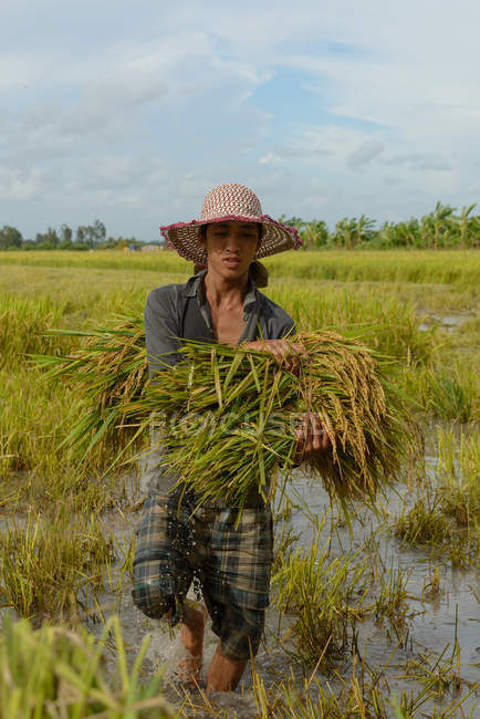Farmer working harvesting rice — Stock Photo