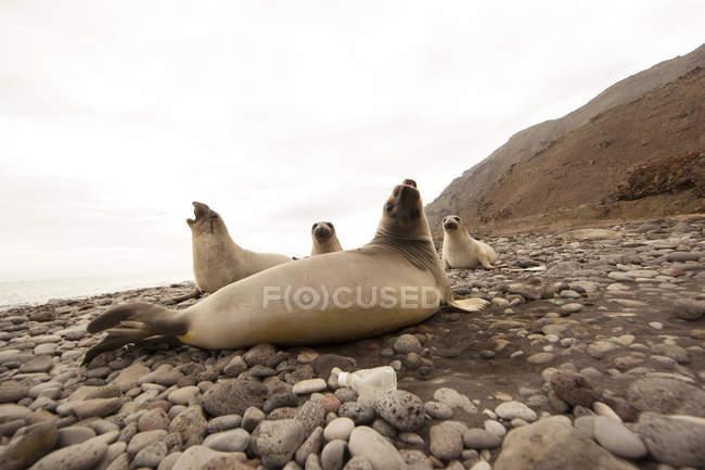 Sigilli sulla spiaggia rocciosa — Foto stock