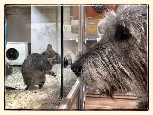 Chien regardant la souris en cage — Photo de stock