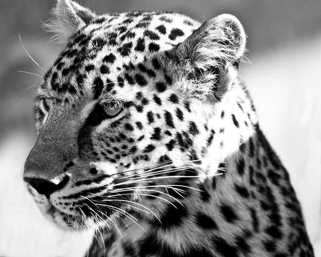 Портрет леопарда — стоковое фото