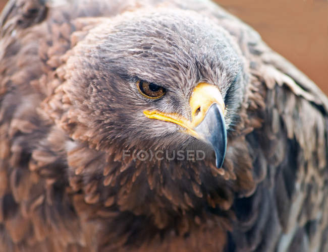 Tawny Eagle, l'Afrique du Sud — Photo de stock