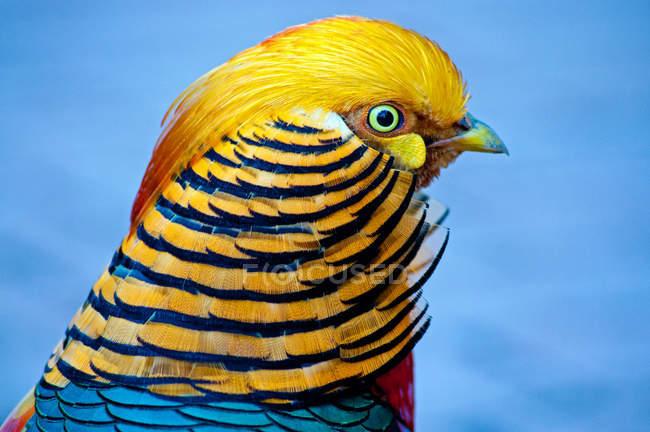 Portrait d'un oiseau Faisan d'or — Photo de stock