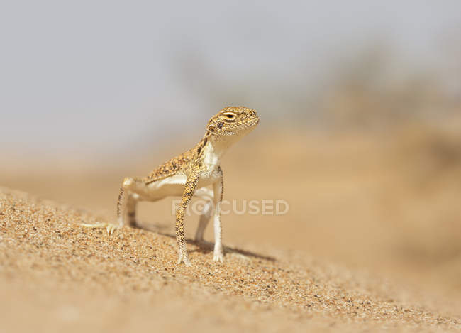 Agama Sapo-dirigido Árabe - foto de stock