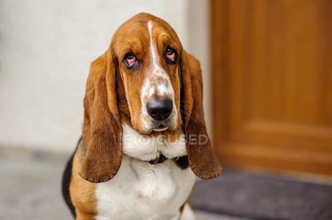 Basset hound dog — Stock Photo