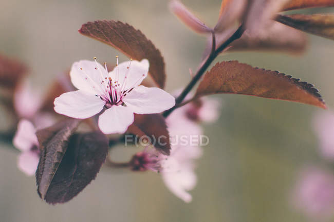 Pink cherry blossom flower — Stock Photo
