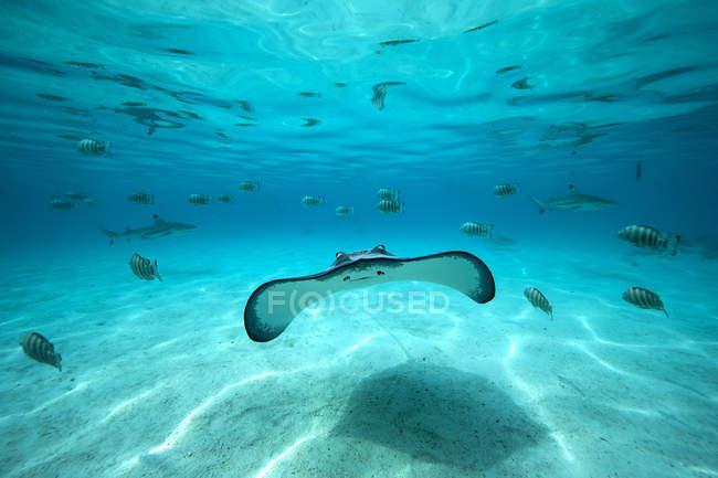 Prise de vue sous-marine d'une raie — Photo de stock