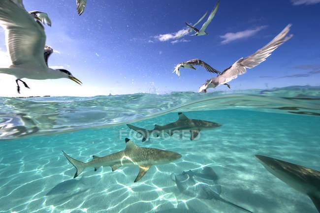 Nourrir la frénésie d'oiseaux, de raies et de requins — Photo de stock