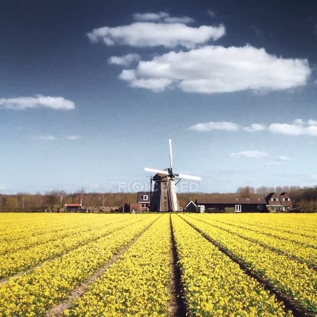 Mulino a vento olandese vicino campo — Foto stock