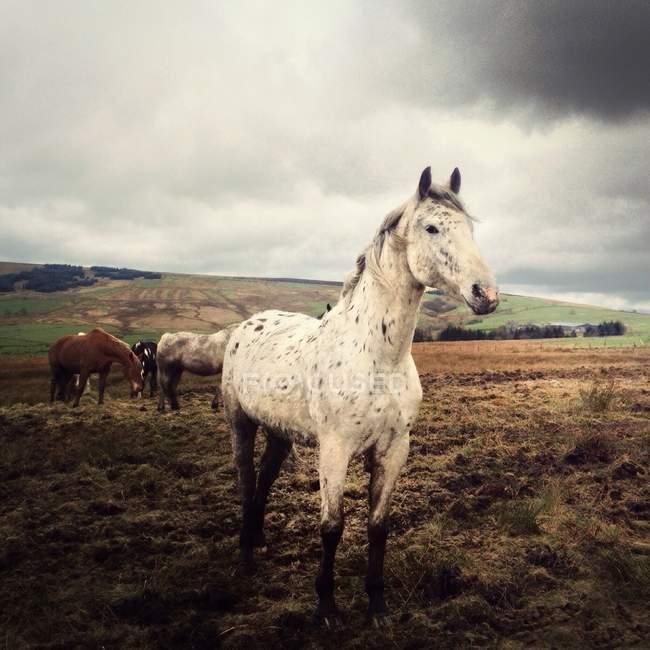 Cavalli in piedi nel campo — Foto stock