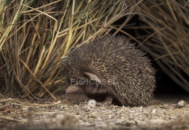 Ouriço de deserto, Paraechinus aethiopicus — Fotografia de Stock
