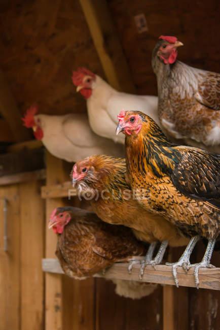Polli appollaiati in coop — Foto stock