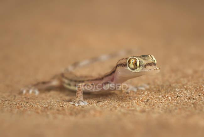 Commandes de lézard sauvage sur le sable — Photo de stock