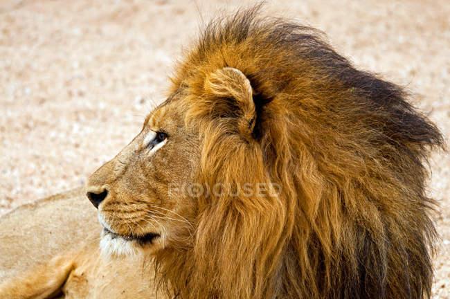 Портрет Льва, Южная Африка — стоковое фото