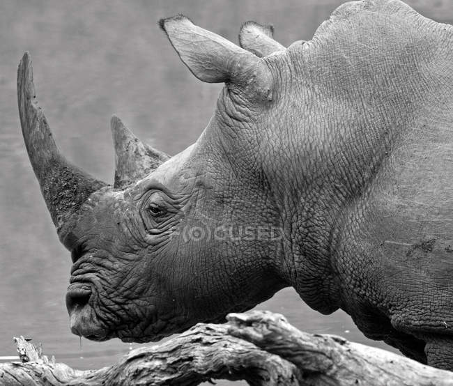 Portrait of rhinoceros, South Africa — Stock Photo