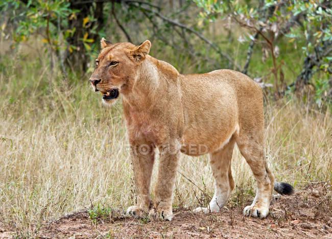 Portrait de lionne, Afrique du Sud — Photo de stock