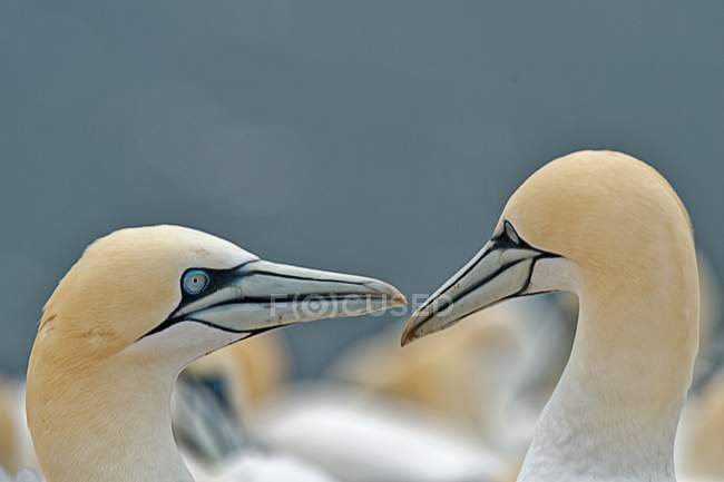 Two fell gannets — Stock Photo