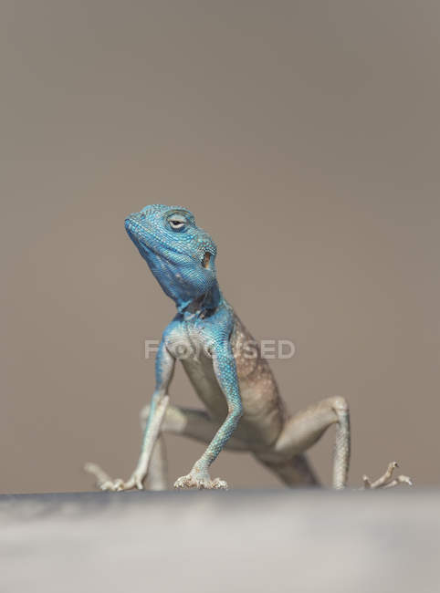 Portrait of a male Sinai agama — Stock Photo