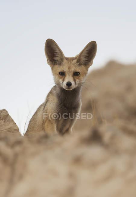 Arabian renard roux — Photo de stock