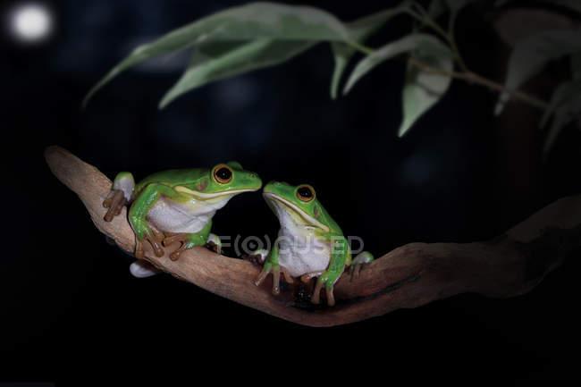 Due rane seduti faccia a faccia — Foto stock