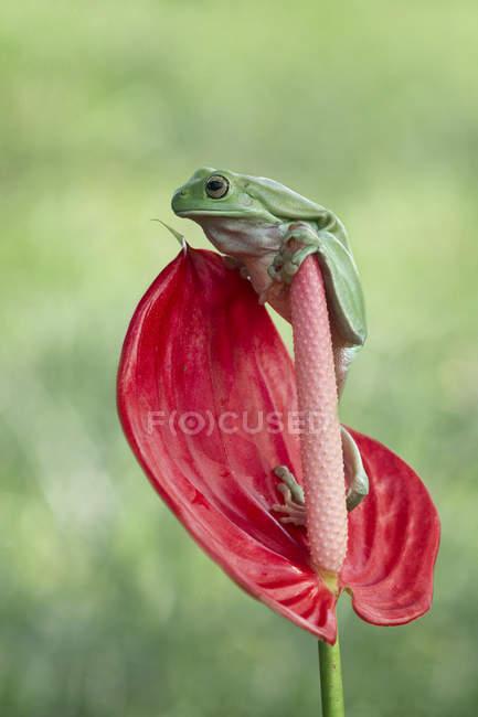 Лягушка, сидящая на цветке — стоковое фото