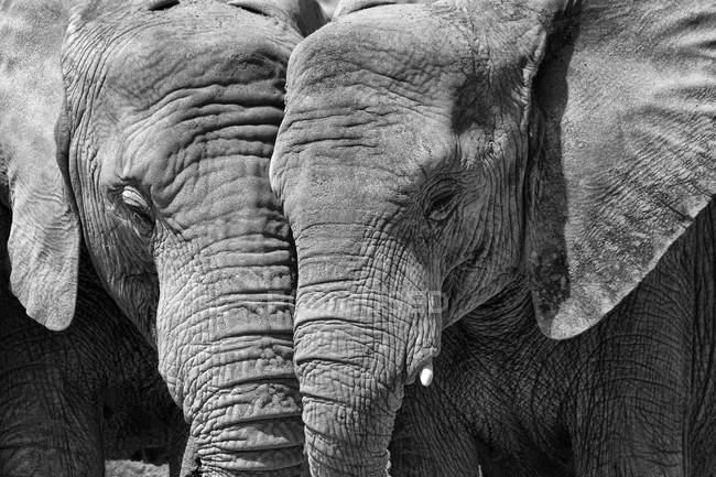 Due elefanti fianco a fianco — Foto stock