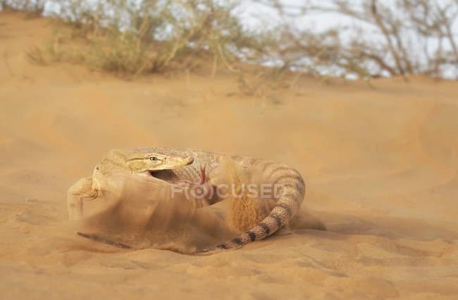 Desert monitor, Varanus griseus — Stock Photo