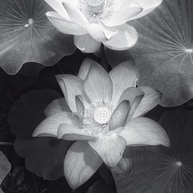 High angle view of lotus flowers — Stock Photo