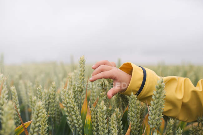 Boy hand touching wheat — Stock Photo