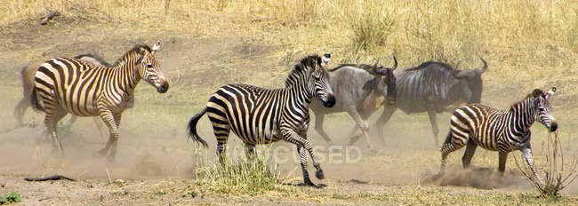 Wildebeests and zebras running in field — Stock Photo