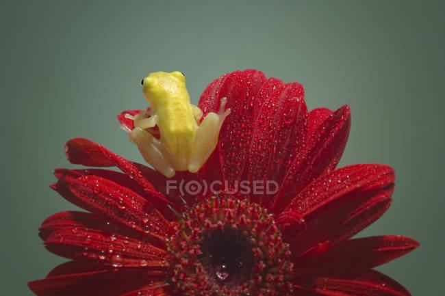 Мініатюрні Жаба сидить на квітці — стокове фото
