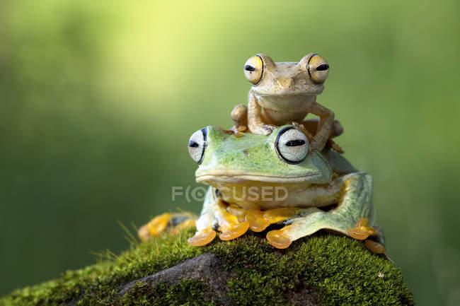 Piccola rana che si siede su un'altra rana — Foto stock