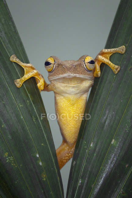 Frog looking through leaves — Stock Photo