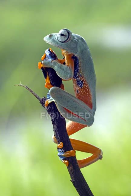 Лягушка ползает по ветке — стоковое фото