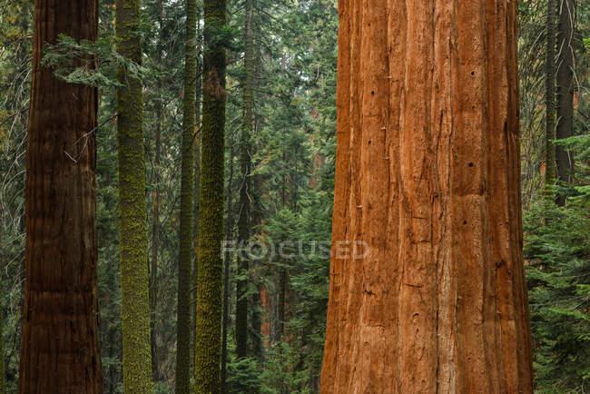 Árboles gigantes de sequía en el bosque — Stock Photo