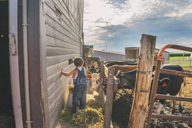 Muchacho alimentando ganado - foto de stock